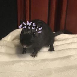 gerbil adorable freetoedit srcbutterfliescrown butterfliescrown