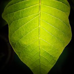 freetoedit leaf leaves green greenleaf light nature naturephotography photography naturesbeauty mypicture lightinthedark colorpaint