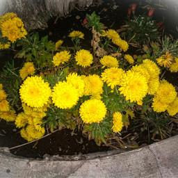 plantas naturalezaperfecta naturaleza natural plants purenature nature yellow yellowphotography photography freetoedit