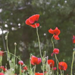 freetoedit flowers beautiful followme red poppies nature photography