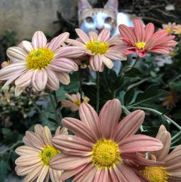 cat catsofpicsart flower nature garden