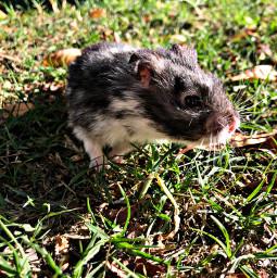 freetoedit hamster mylittlehamster