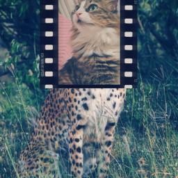 junothecat juno cat catsofpicsart catlovers srcfilmstar freetoedit