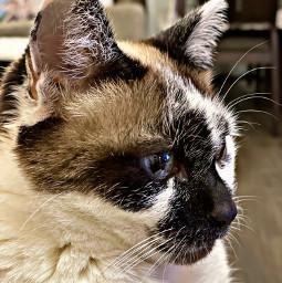 freetoedit cat animal black white brown