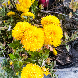 freetoedit yellow amarillo flores flor