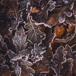 autumnleaves frosty winter freetoedit