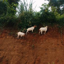 photography mobilephotography animalphotography goat zamboanga philippines zenfone zenfone5 freetoedit