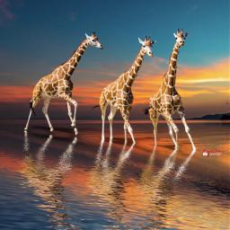 giraffe surrealart myriam70