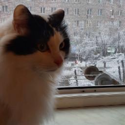picsartpets cat freetoedit