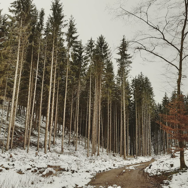 #Saarland #forest #winter #snow #pinetrees