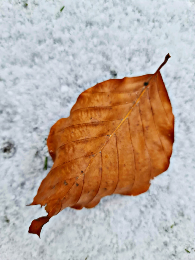 #winter #snow #leaf #nature #naturephotography #macro #macrophotography  #freetoedit