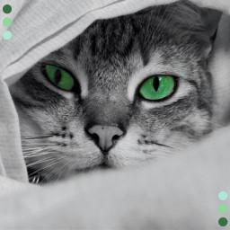 cat cute dream green blue grey black white eyes animal nice sweet pretty beautiful look eye lovely vsco art wallpaper nose tumblr nature interesting freetoedit