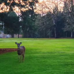 deer sunset golfedit vibrant dusk nature naturelovers oregon sunsetlovers vibrantsunset sunsetbeauty😍❤💃 sunsetbeauty