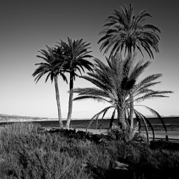 landscape bnw blackandwhite palmtrees nature travel freetoedit