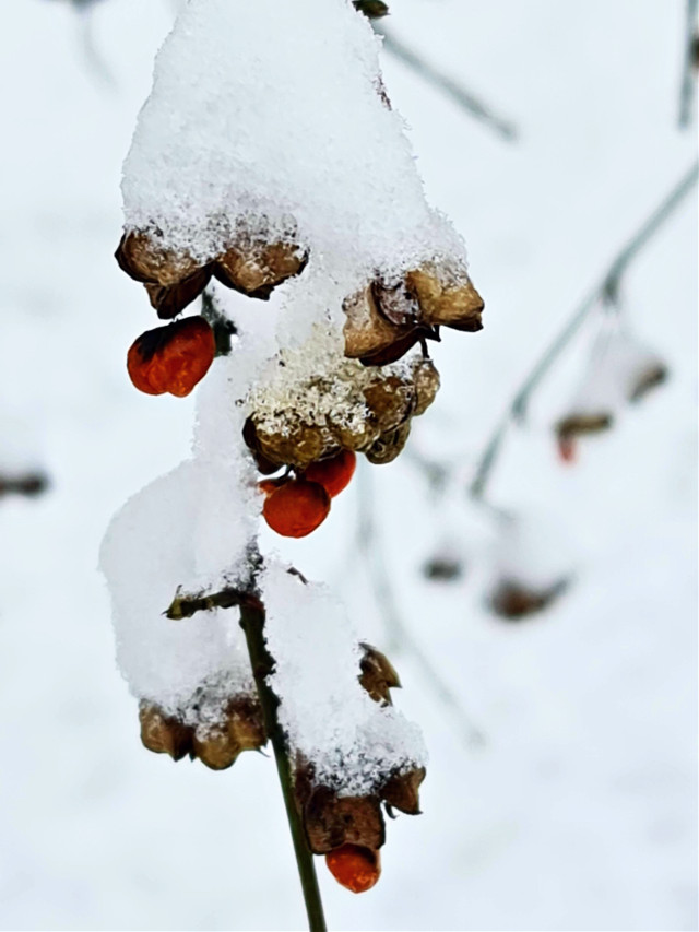 The beauty of winter 💙  #winter #snow #berries #nature #macro #naturephotography  #freetoedit