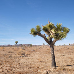 freetoedit joshuatree desert nationalpark nature photography