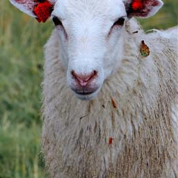 sheep goat lamb ewe animal nature white wool portrait cute photography animals tag green grass beige orange remixit freetoedit goats norway pcpetsofpicsart2021 petsofpicsart2021