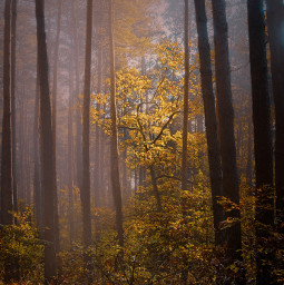 freetoedit forest tree fog photography nature