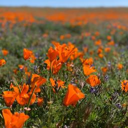 pretty flowers california poppies pcnaturethroughmyeyes naturethroughmyeyes