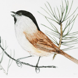 coloredpencils bird drawing freetoedit