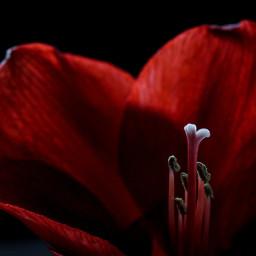 nature lights photography lightsandshadows picsart red blackbackground background flowers amaryllis magical mystical dark freetoedit
