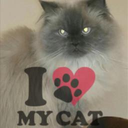 my_cat قطتي قطة beautifull i_miss_you freetoedit