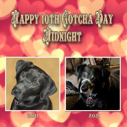 myphotography mydog dog labrador gotchaday photography petsandanimals pets mypet lovemydog