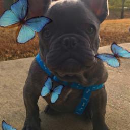 dog butterflies outdoors freetoedit