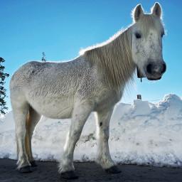 freetoedit horse snow animal white whitehorse