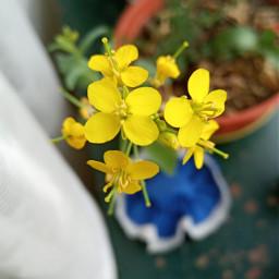 flower silvestres flordecampo yellowflower