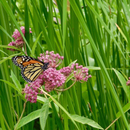 freetoedit outdoors photography butterfly flowers nature animal