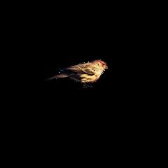 bird sparow freetoedit