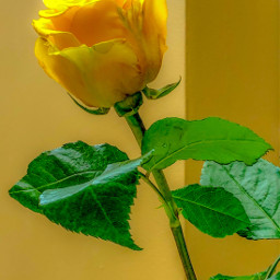 freetoedit yellow rose myphoto valentinesday greenleaf