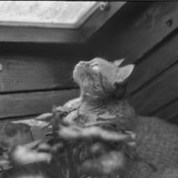 dubravka_m dubravka_m_art photography 35mmshoot 35mmfilm 35mm kiev kievgram analogphotography cat winter2021 window bwphoto blackandwhitephoto portraitphoto ilfordphoto pcwindow
