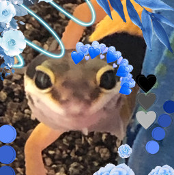 genderreveal boy new tada wow blue leopardgecko leopard gecko lizard animal mine male freetoedit