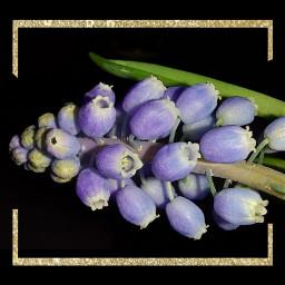 photography myphoto blue flowers freetoedit
