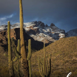 desert cactus🌵 snow winter naturelover arizonalove cactus