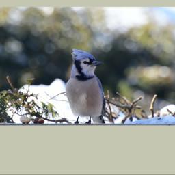 geaibleu oiseau bluejay