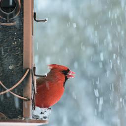 cardinalrouge oiseau neige hiver février northerncardinal bird letitsnow snow winter eastofcanada february