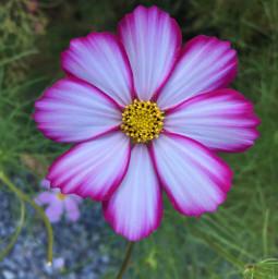 flowerphotography flowers love flower cosmosflower
