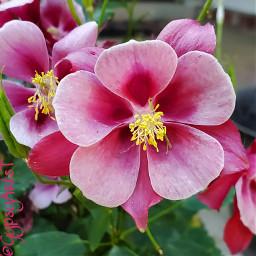 columbine pcflowersaroundme flowersaroundme