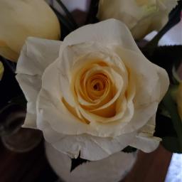 rose pcflowersaroundme flowersaroundme