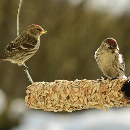 sizerinflammé oiseaux commonredpools birds