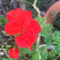freetoedit flowerchallenge challene votemepls pcflowersaroundme flowersaroundme