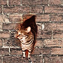 freetoedit kittycat brickwall petphoto editedbyme