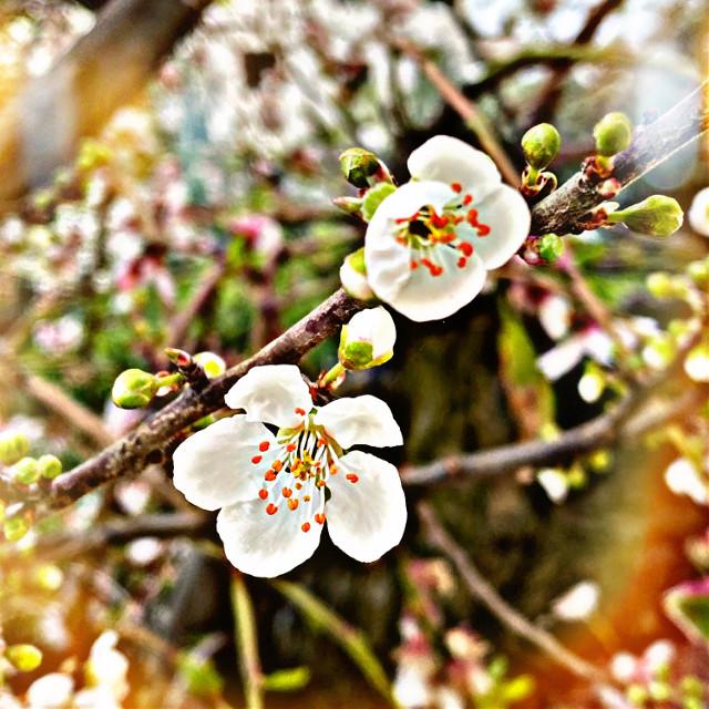 #cherylblossom #cherry_blossom
