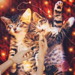 challenge beautyofhands lights wire cutekitty kitty cat meow hands hand sleepingcats cute light furrycat freetoedit ircbeautyofhands