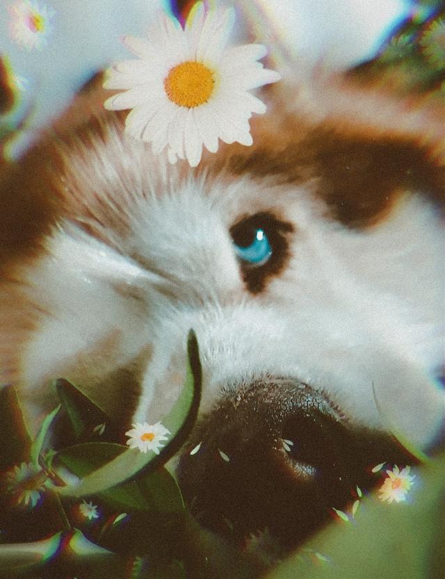 @claudiamaraimagem #husky #huskysiberiano