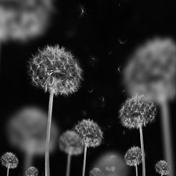 blackandwhite blackandwhitephotography minimal dandelion picsartedit