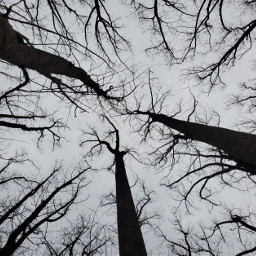 freetoedit treetops canopy nature cloudysky lookingup